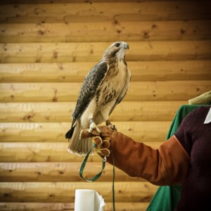 Kaya our red tailed hawk