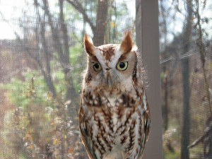Rosie, our red phase screech owl